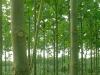 Paulownia-Seedling-2-