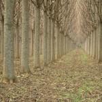 8éves Paulownia ültetvény
