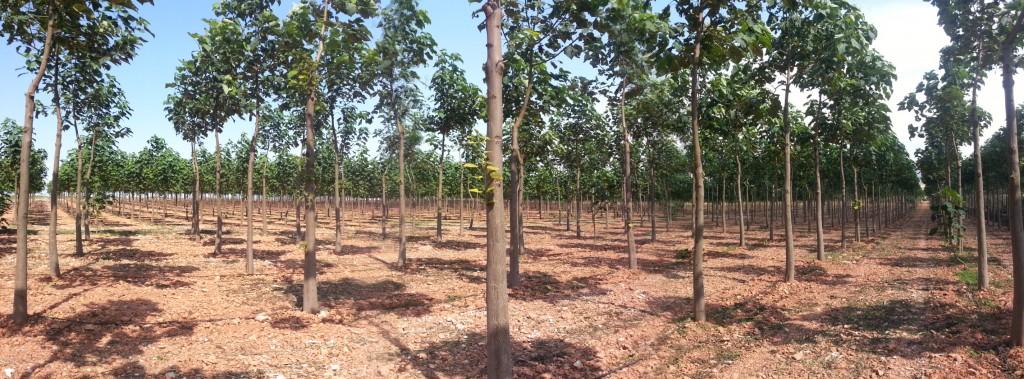 Paulownia plantaza