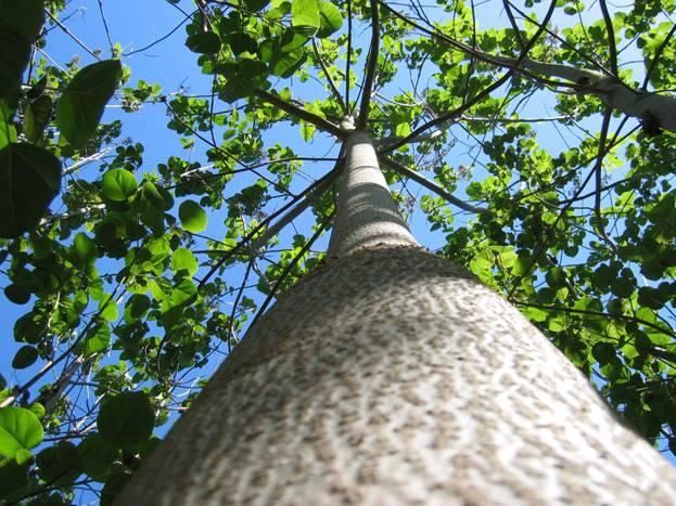 paullownia stabla