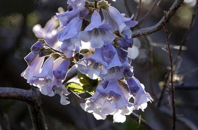 paulownia-shantong-cvece