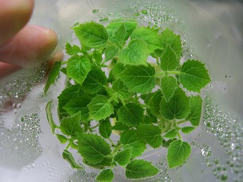 In vitro Paulownia plant