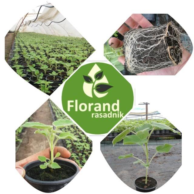 Rasadnik Florand