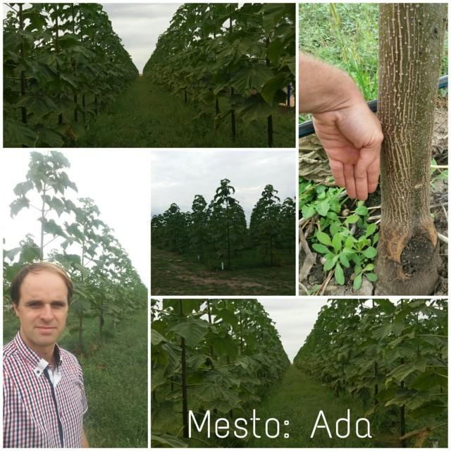 Paulovnija drvo